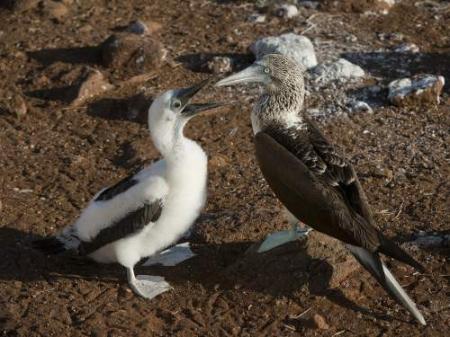 GALAPAGOS CRUISE [LATE DEALS GALAPAGOS TOURS]: Blue-footed Booby colony at Galapagos National Park