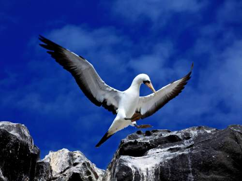 GALAPAGOS CRUISE [LATE DEALS GALAPAGOS TOURS]: Nazca Booby with Chick at Galapagos National Park