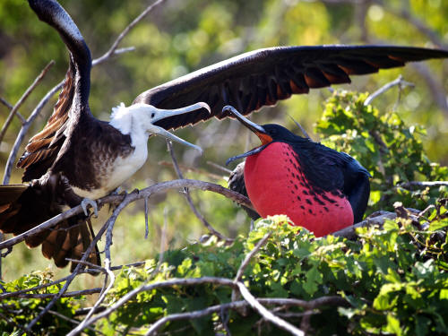 Magnificent Frigatebird with chick